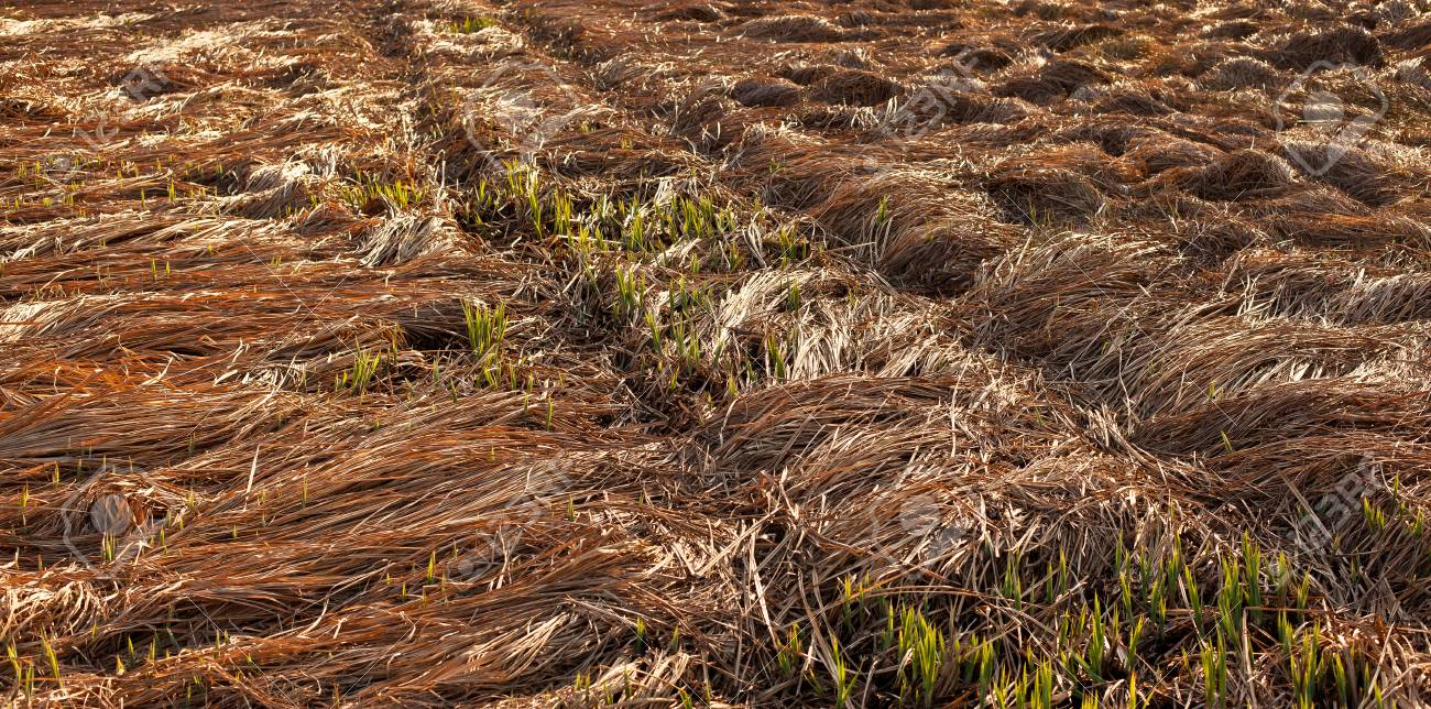 Fallen crops on the field in autumn Stock Photo - 55118179