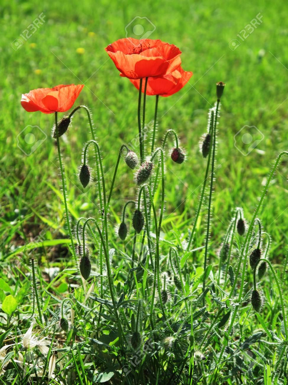 Poppy flower in the wild Stock Photo - 55145225