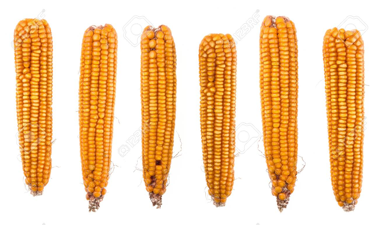 Dry corn on the cobs isolated on white background Stock Photo - 64001725
