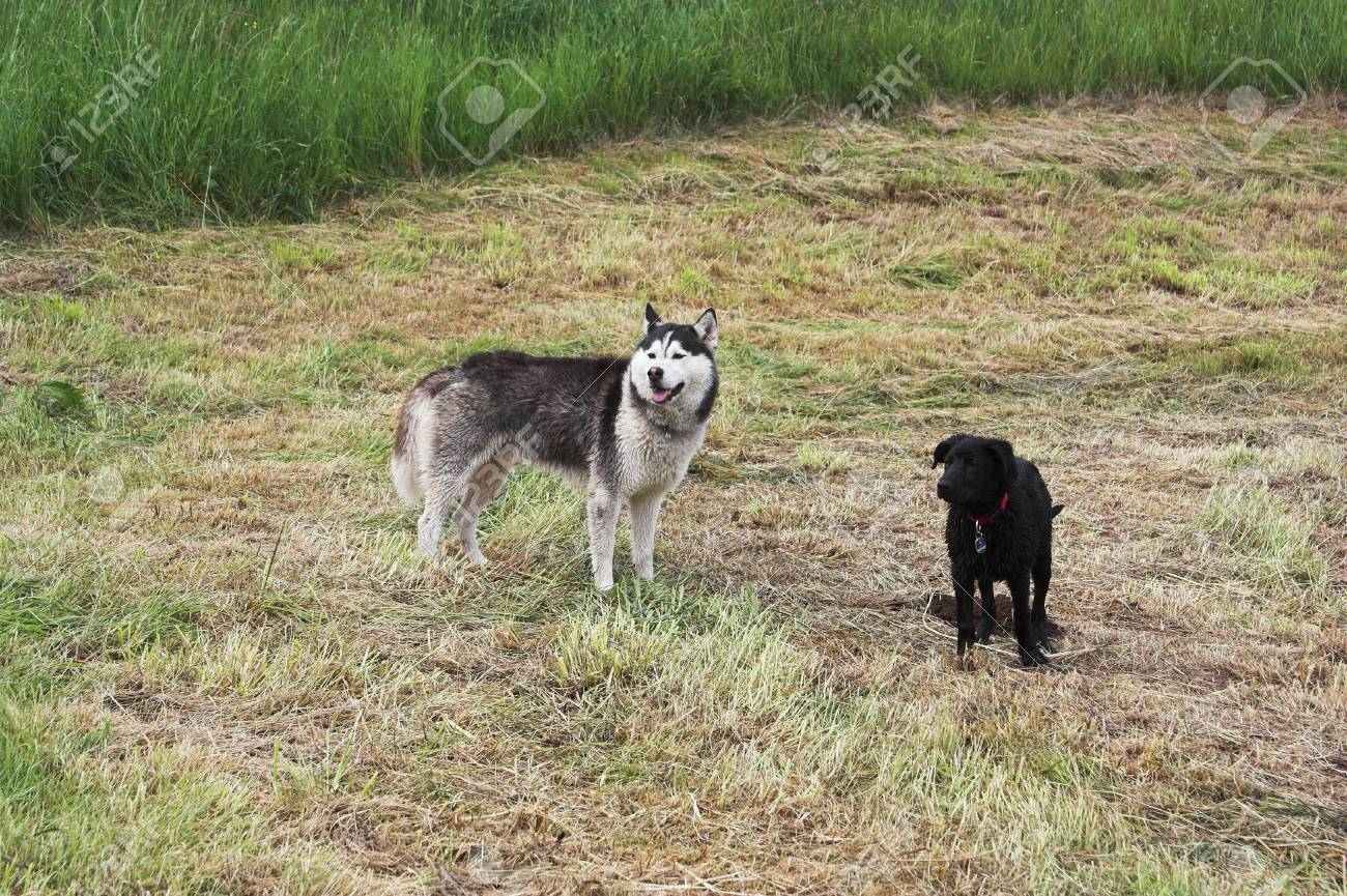 A husky and a young black crossbreed in the meadow Stock Photo - 12681380