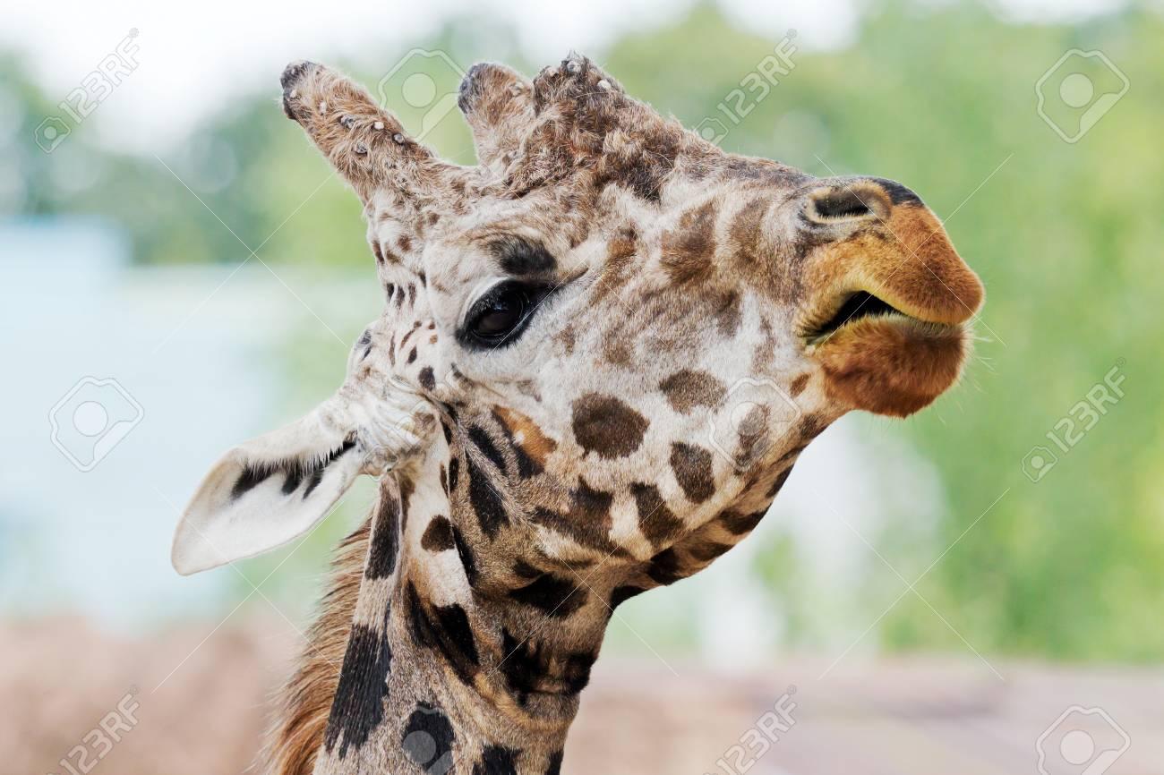 Closeup of the head of a giraffe Stock Photo - 14897755
