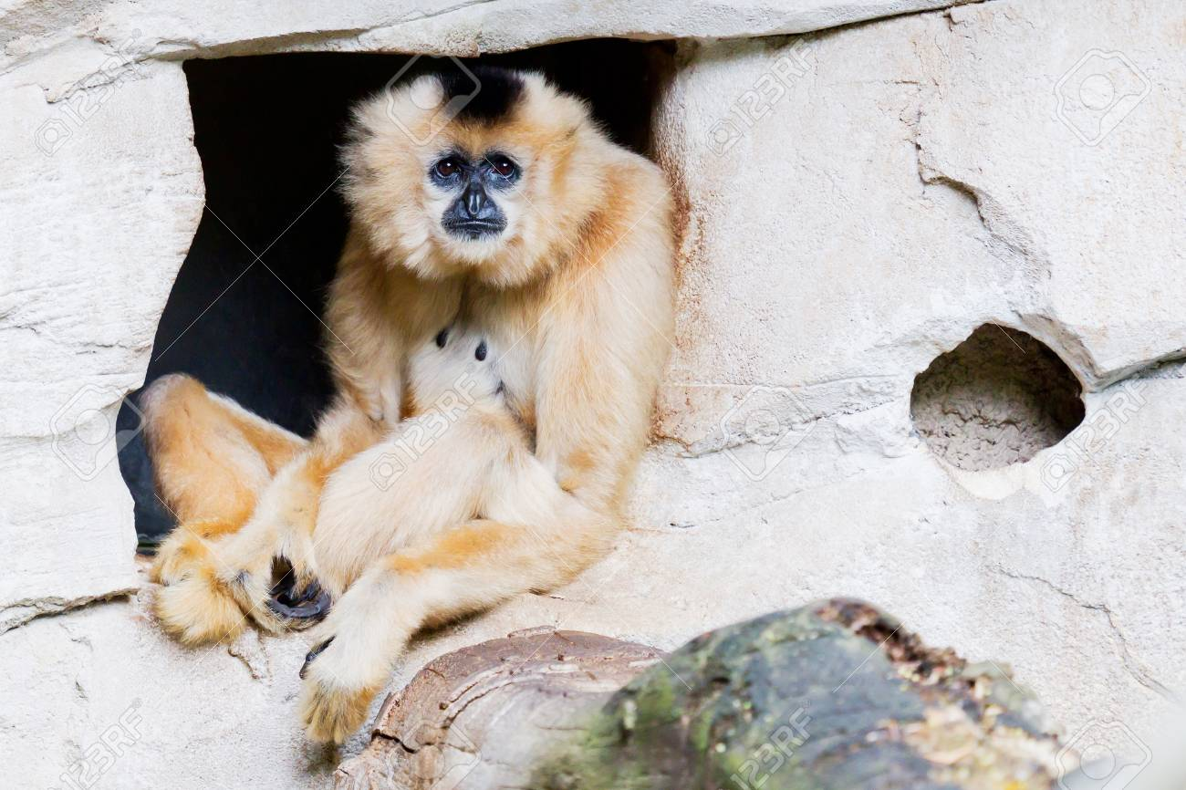 Brown gibbon sitting in the entrance of a den Stock Photo - 14897805