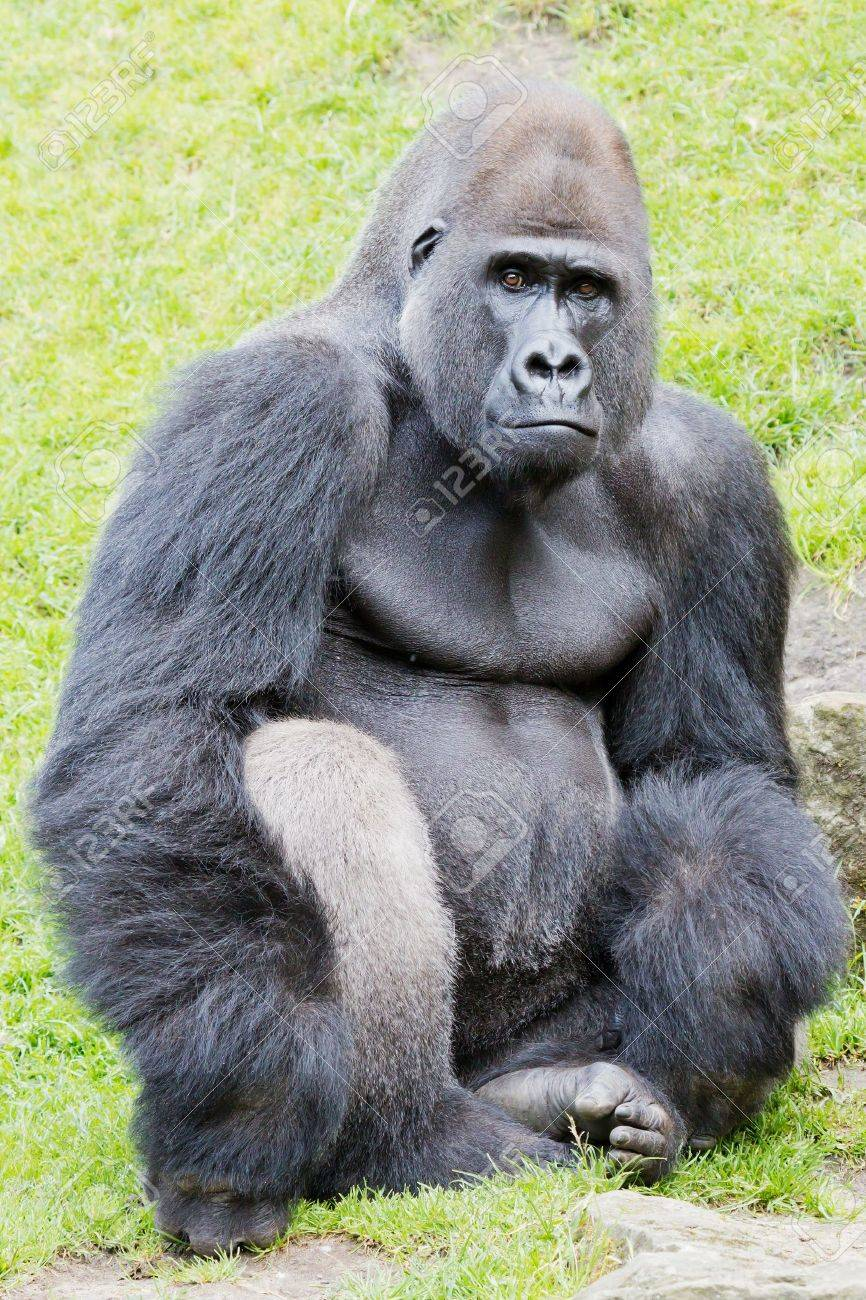 A sitting silverback gorilla looking vigilant Stock Photo - 14889735
