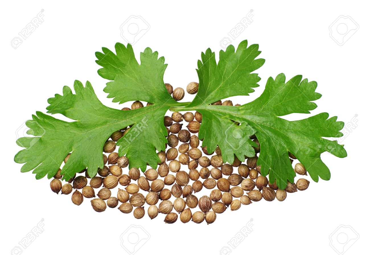 Two green coriander leaves and seeds closeup isolated on white - 14899423