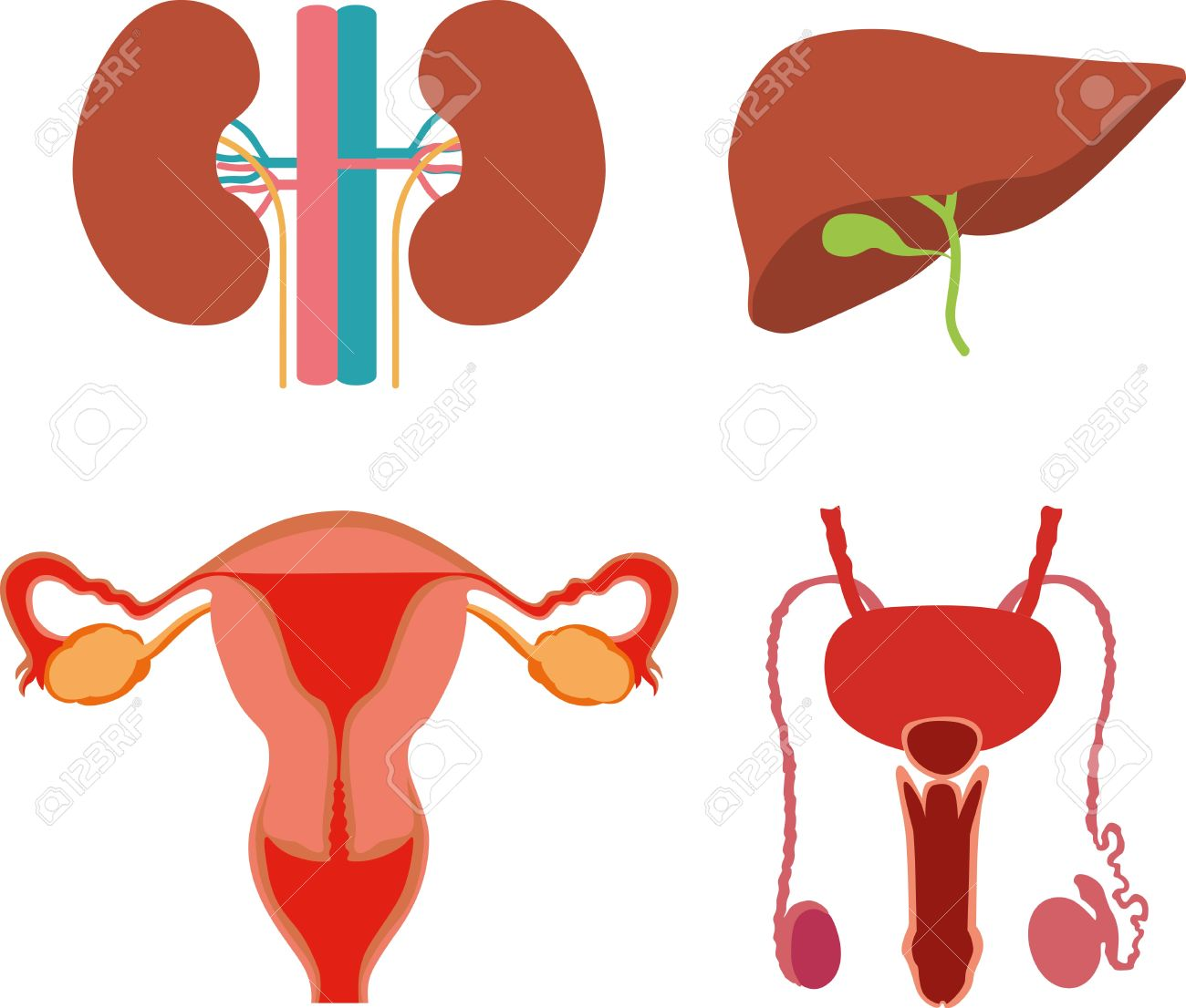 Menschliche Körperteile: Mann Und Frau Genitalien, Nieren, Leber ...
