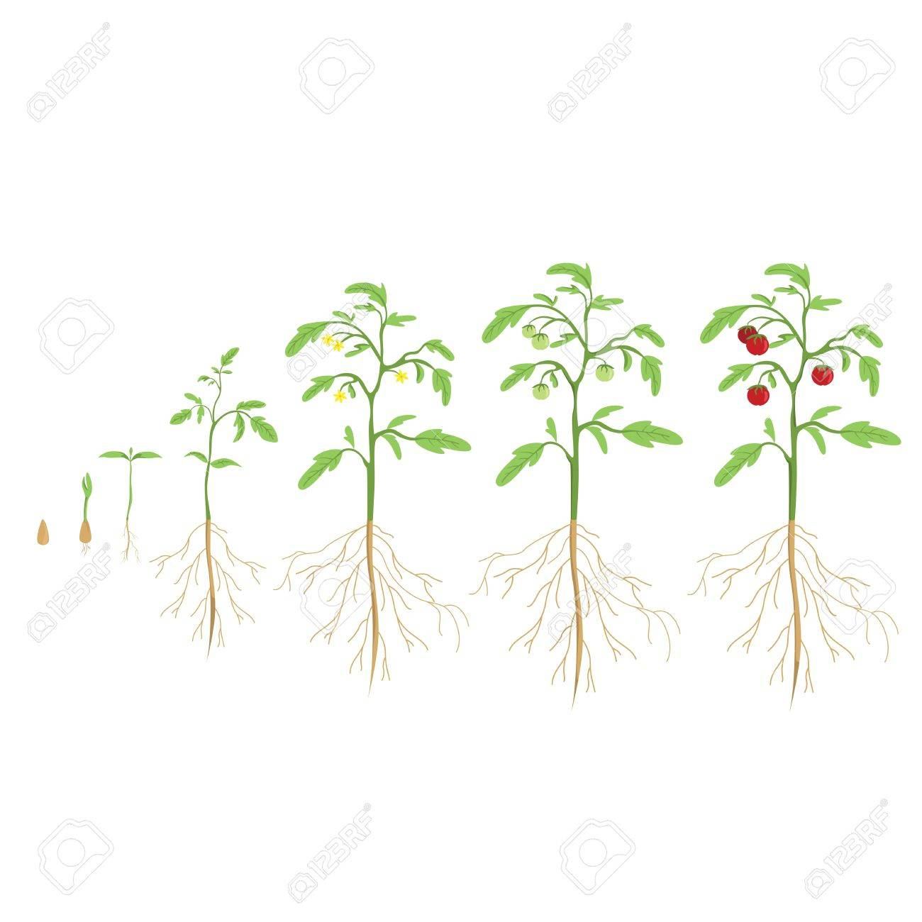 Tomato plant cycle. Growth progress. - 67061058