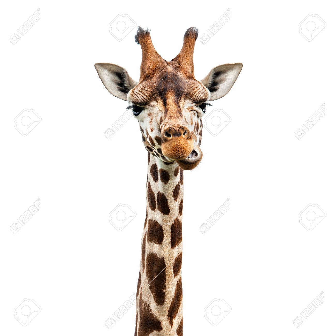 funny giraffe u0027s face stock photo picture and royalty free image