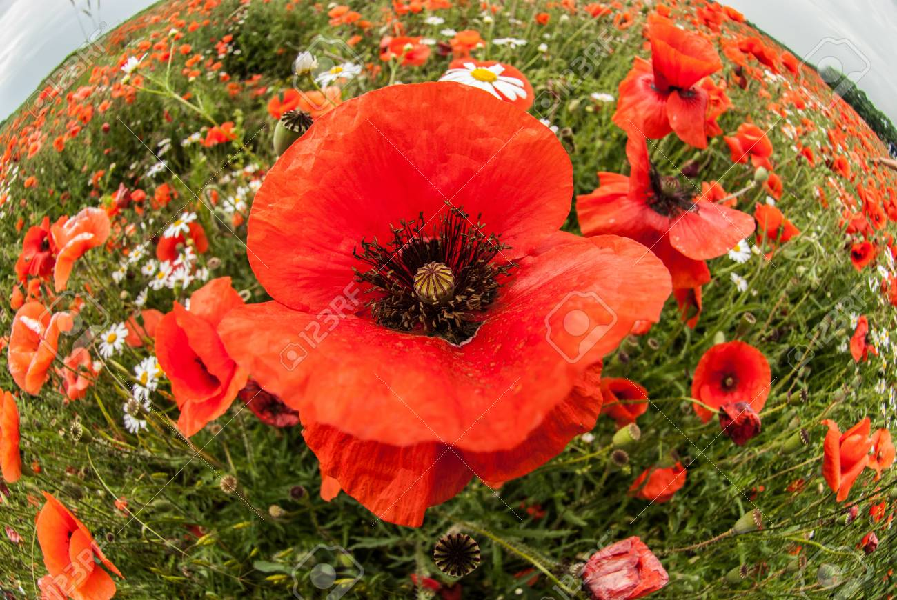 A Close View Of Red Poppies On The Summer Flower Field A Poppy