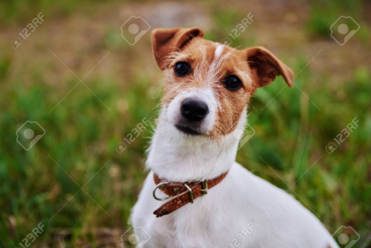 Dog on the grass in a summer day. Jack russel terrier puppy looks at camera - 153651673