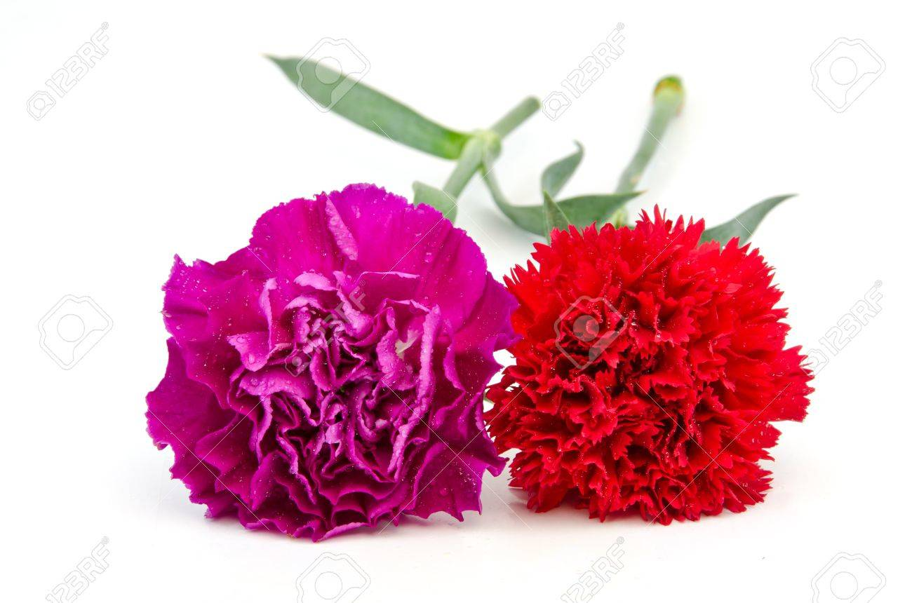 Purple and Red carnation flower Stock Photo - 16159160