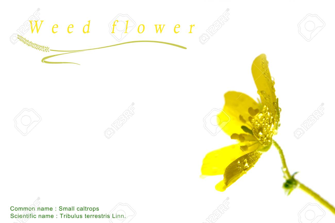 Yellow Flower Of Small Caltrops Weed Isolated Flower On White