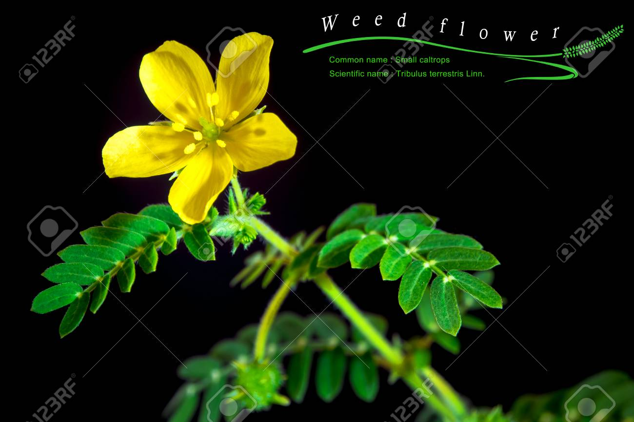 Yellow Flower Of Small Caltrops Weed Isolated Flower On Black