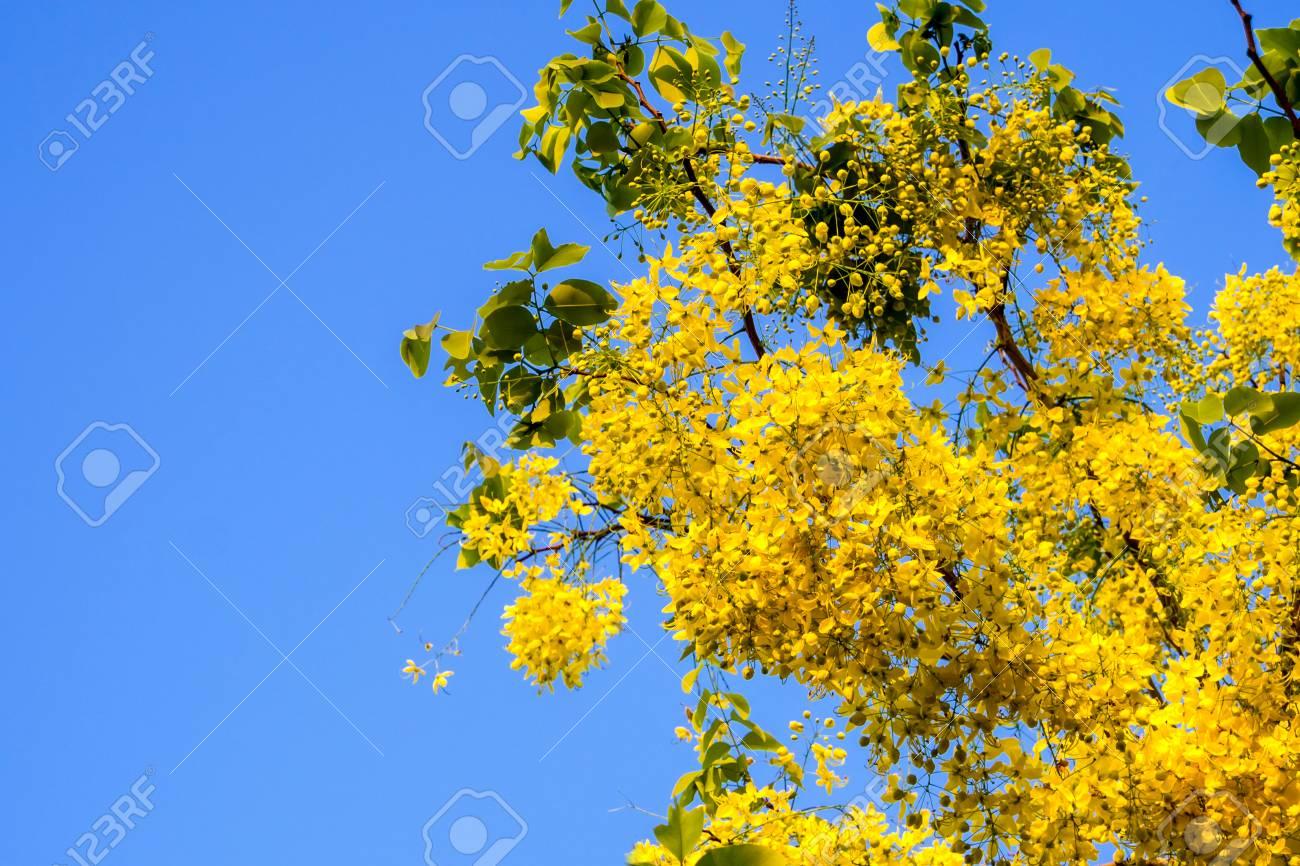 Golden shower national flower of thailand yellow flowers in stock golden shower national flower of thailand yellow flowers in summer season cassia fistula family mightylinksfo