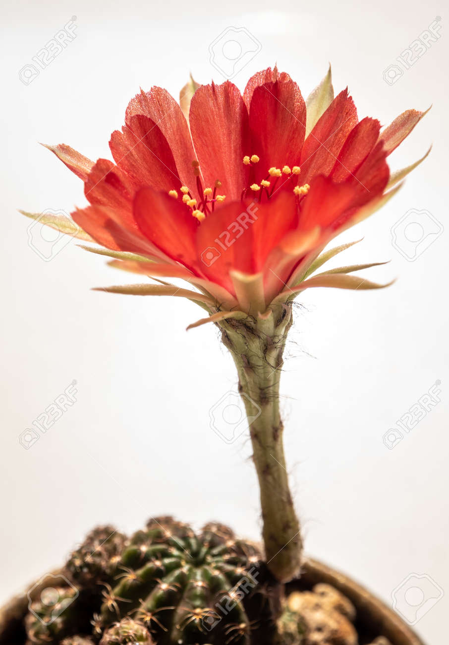 Red color delicate petal with fluffy hairy of Echinopsis Cactus flower on white background - 167263300