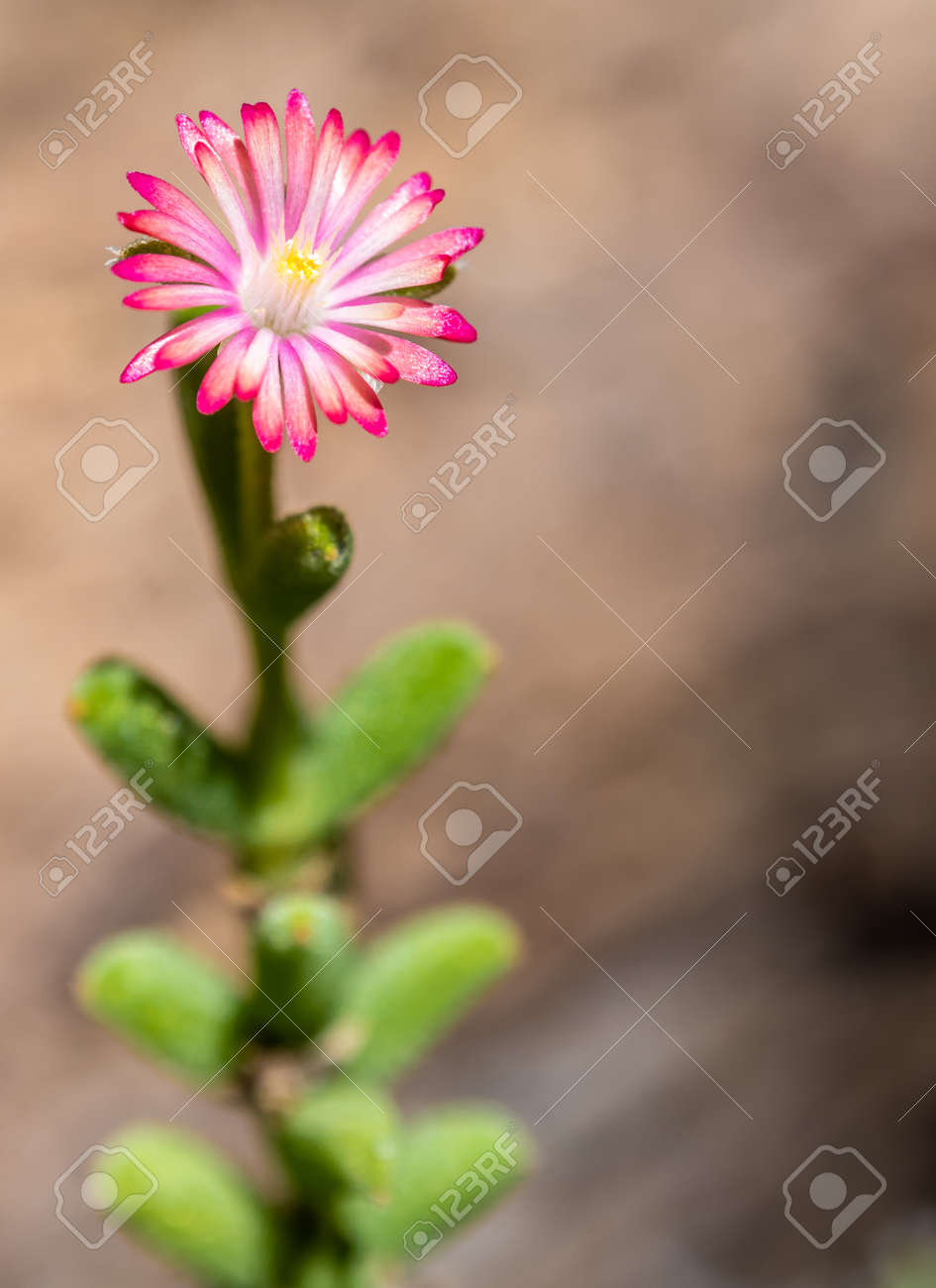 Purple lampranthus Pink color flower of Ice plant in the nature - 167263306