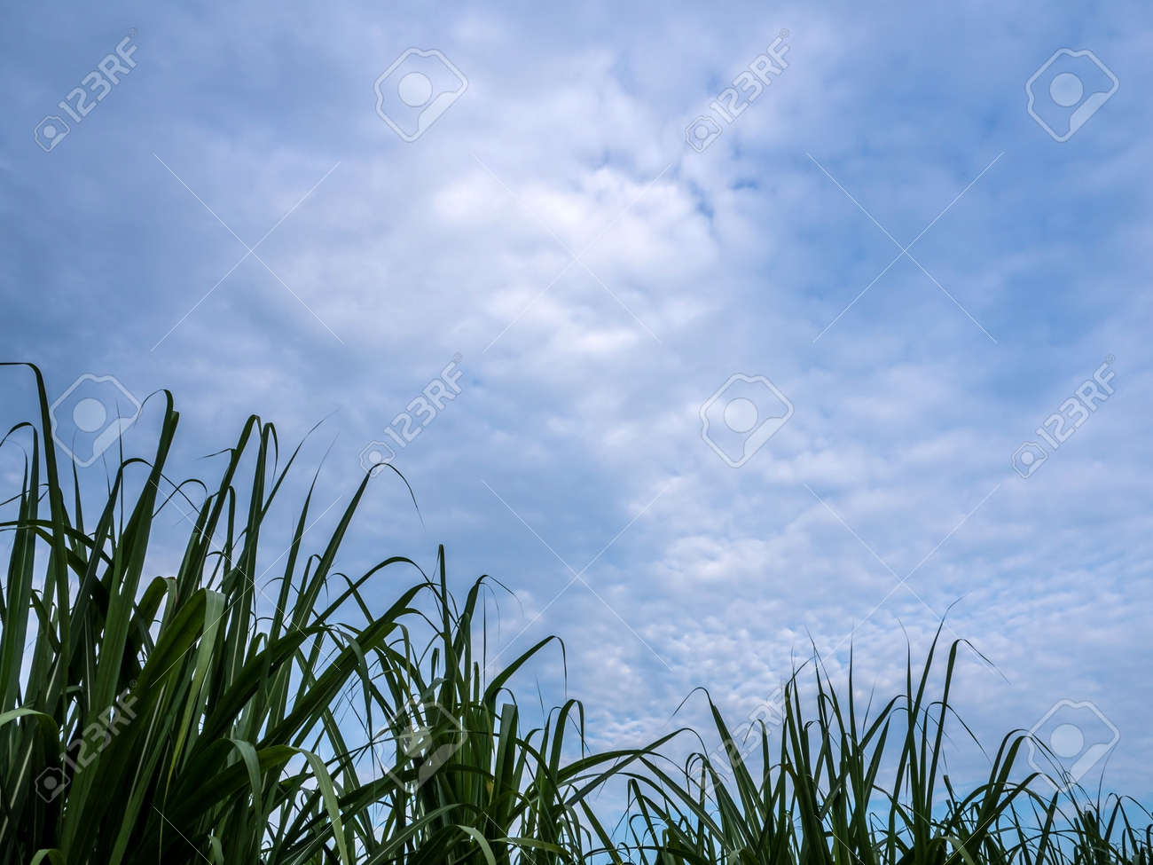 Blade of sugarcane leaves in the farm and the blue sky - 167263508