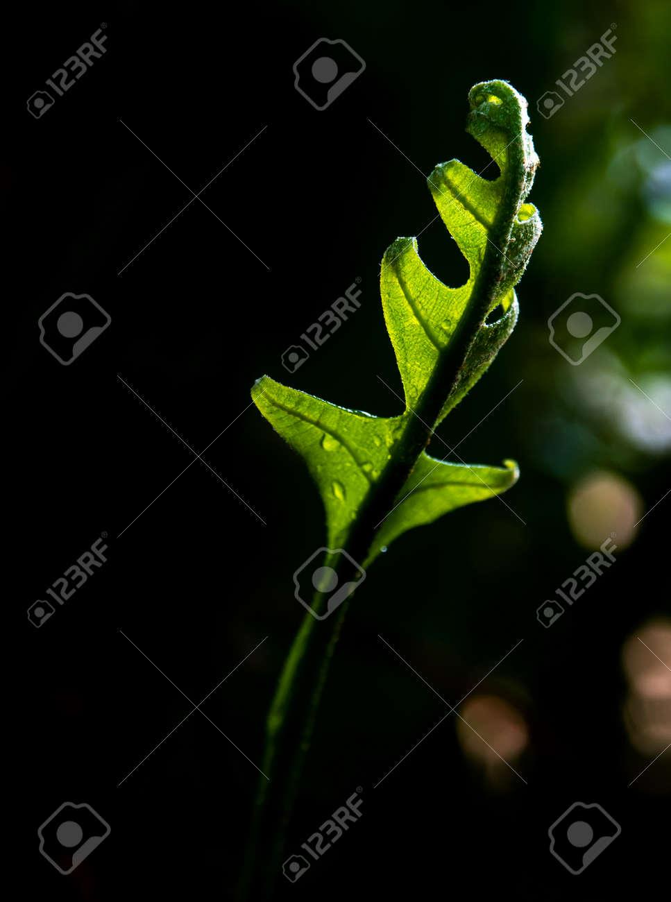 Close-up Freshness green leaves of Oak-Leaf fern on natural background - 167263709