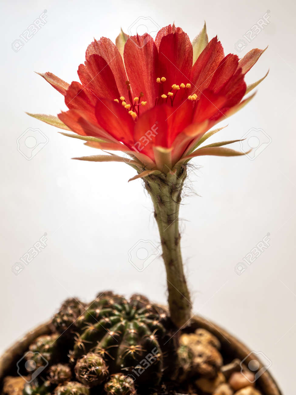 Red color delicate petal with fluffy hairy of Echinopsis Cactus flower on white background - 170504947