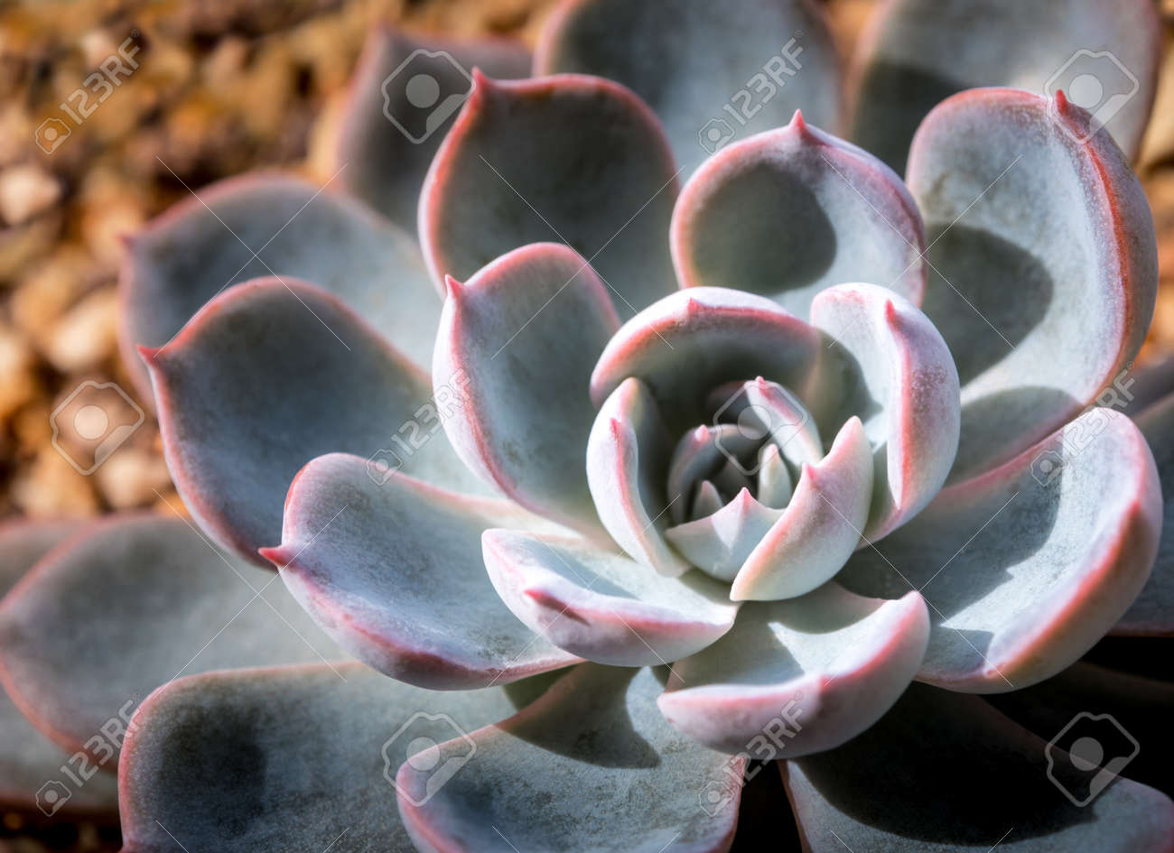 Succulent plant close-up, white wax on silver blue leaves of Echeveria peacockii Subsessilis - 171431438