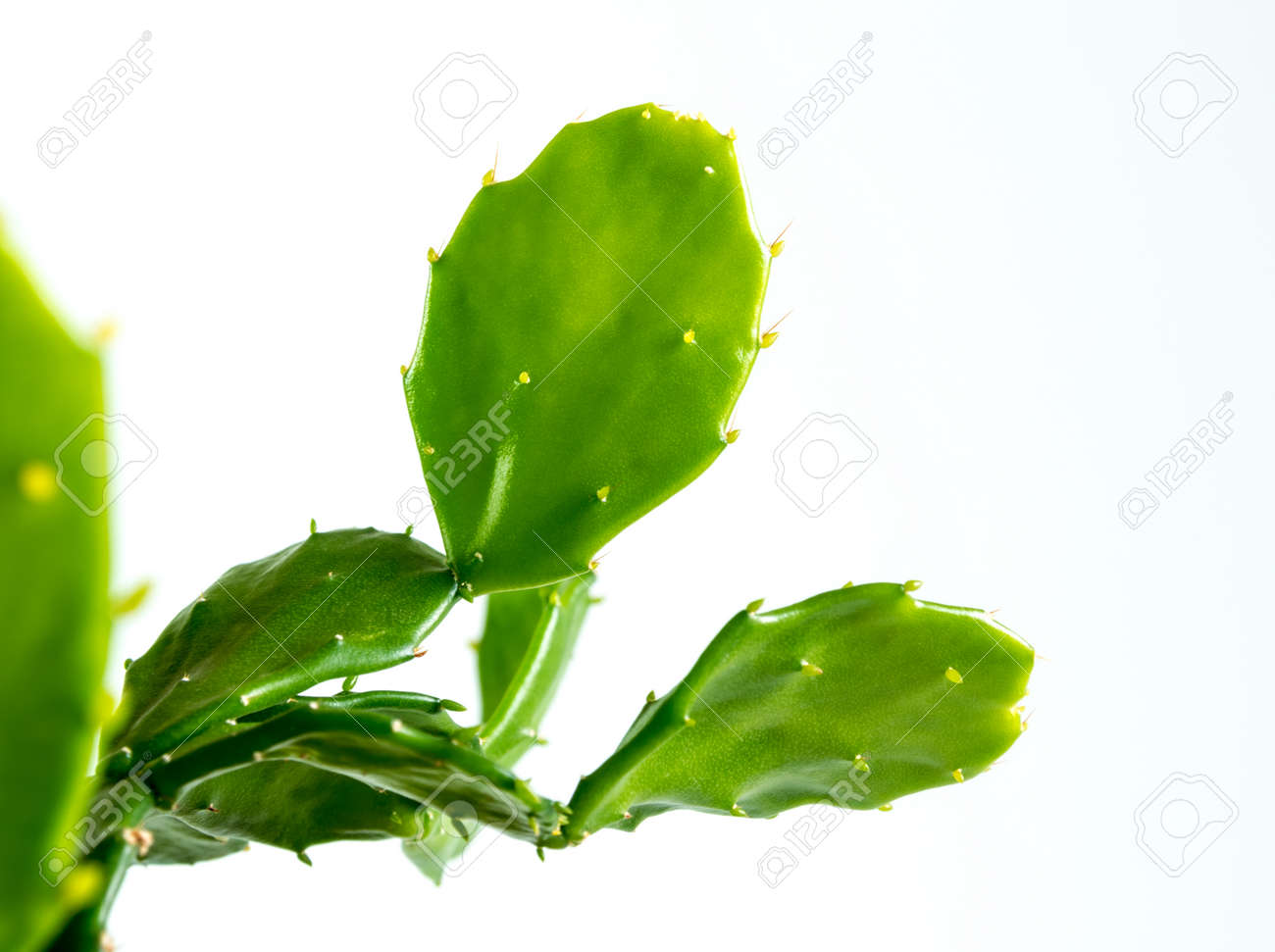 Green leaves on green leafpads of succulent plant Opuntia tuna cactus - 171811261