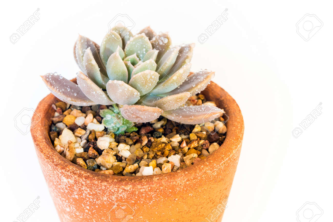 Earthenware pot and freshness leaves of Echeveria plant in white background - 171811264