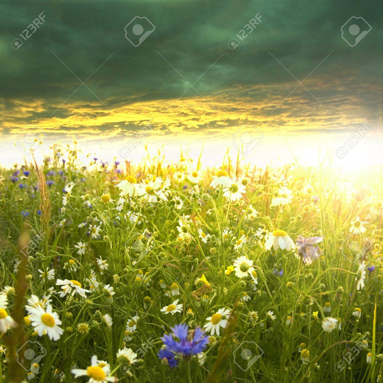 Beautiful spring landscape. Green meadow full of flowers at summer sunrise. - 9739690