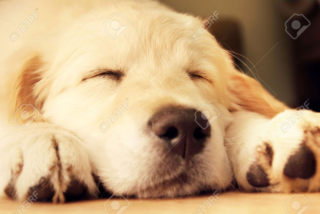 Cute Golden Retriever Puppy Taking A Nap Stock Picture And