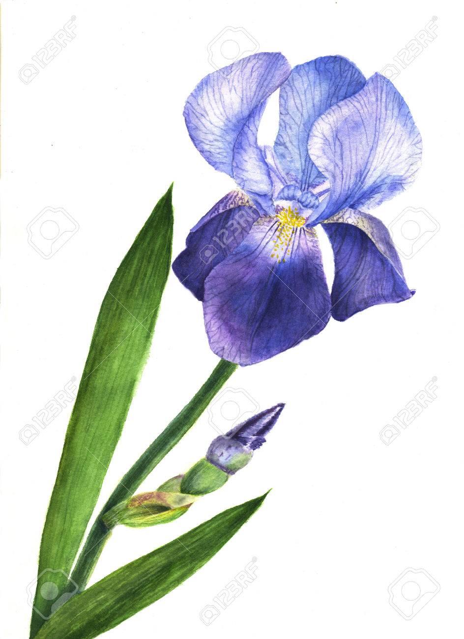 Watercolor illustration purple iris flower plant wildflower stock illustration watercolor illustration purple iris flower plant wildflower iris flower in a watercolor style isolated izmirmasajfo