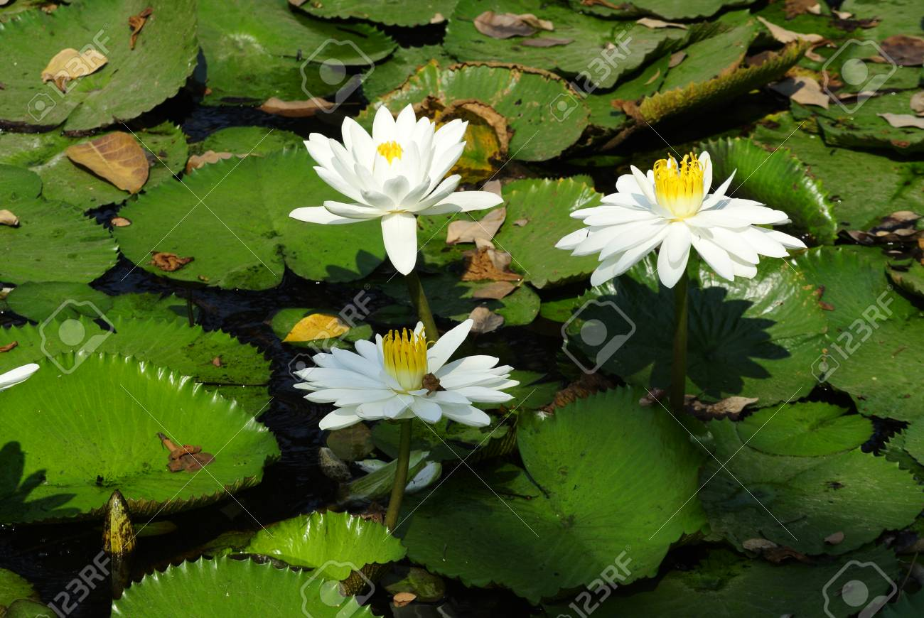 Natural Lotus Flower Stock Photo Picture And Royalty Free Image