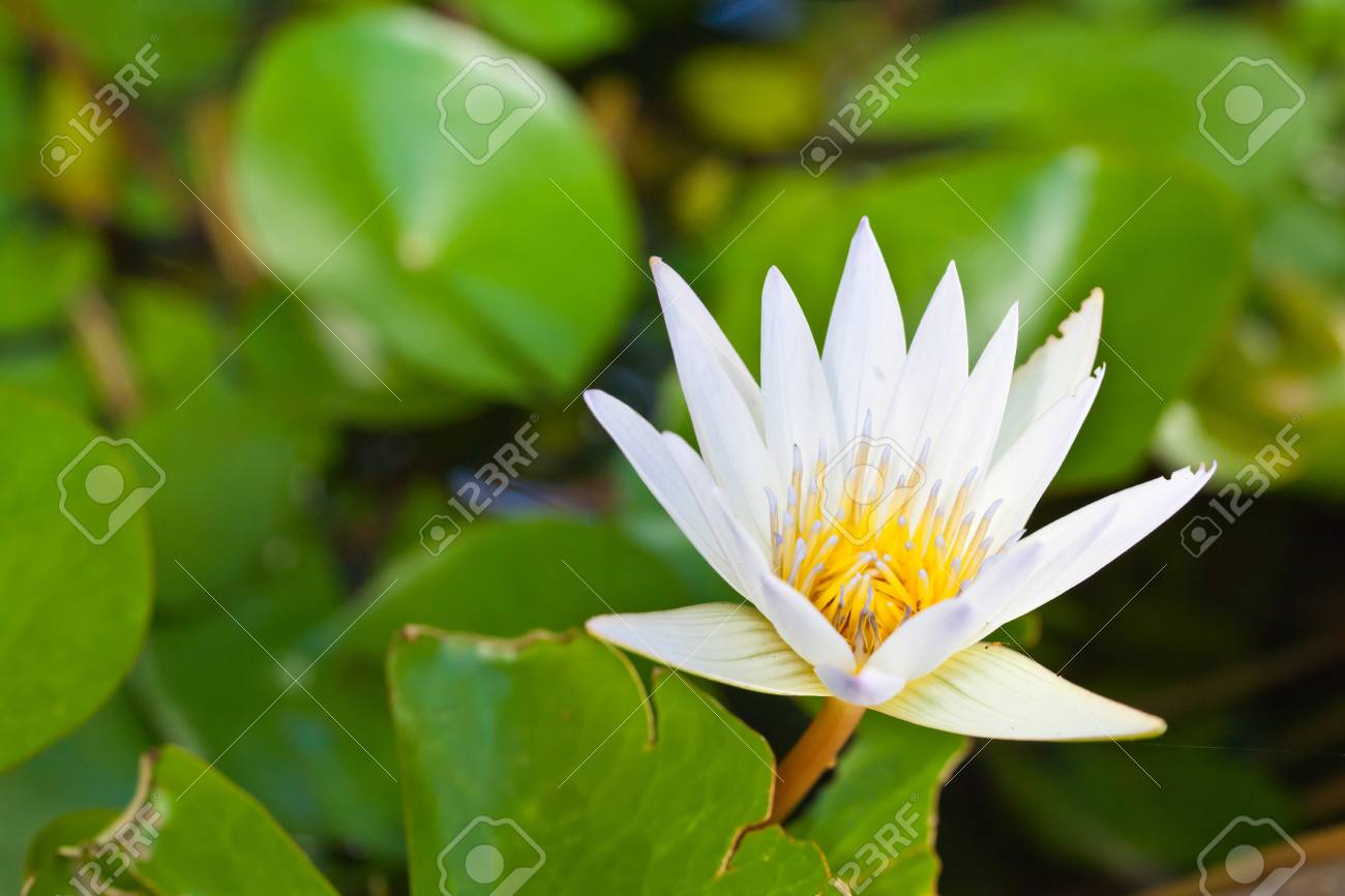 Close up white lotus on top Stock Photo - 16013619
