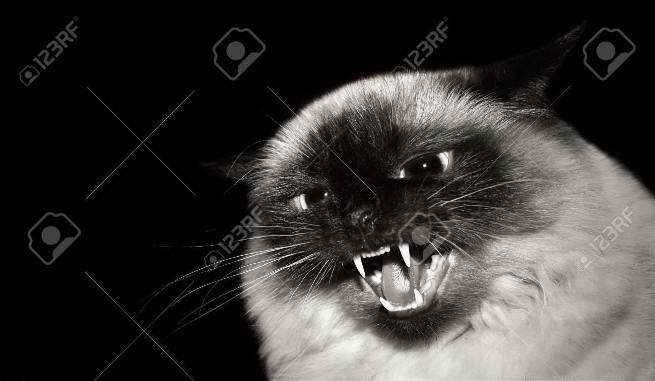 Angry cat on black background Stock Photo - 6574355