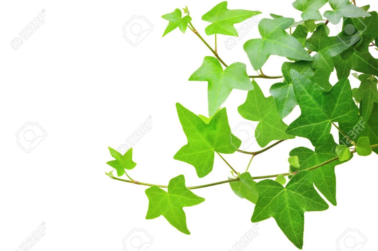 Ivy plant - 39732728