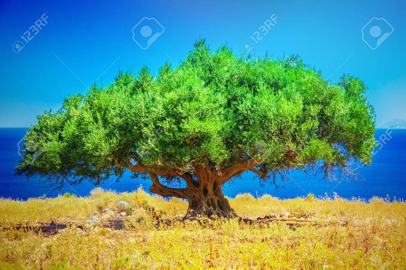 Olive trees - 44951100