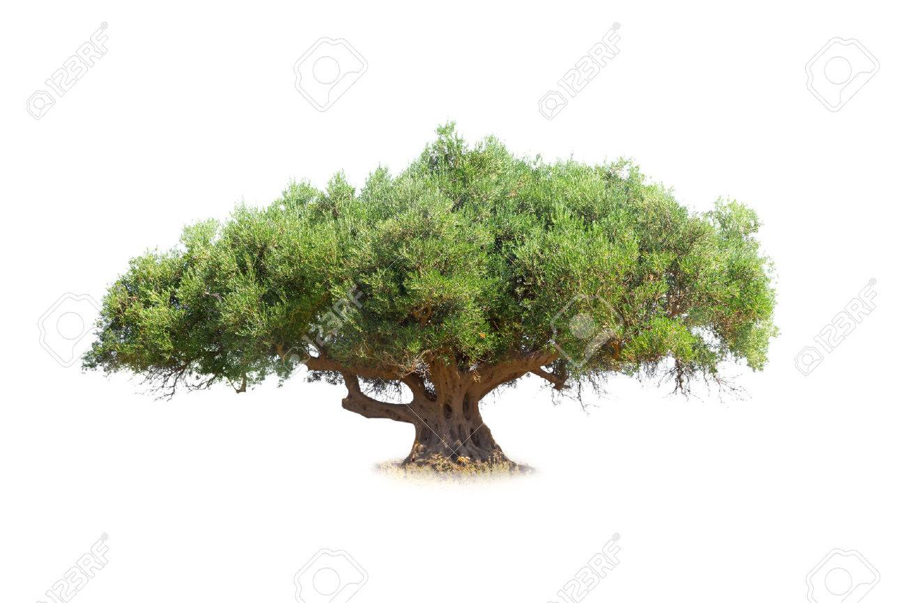 Olive tree isolated on white - 60329416