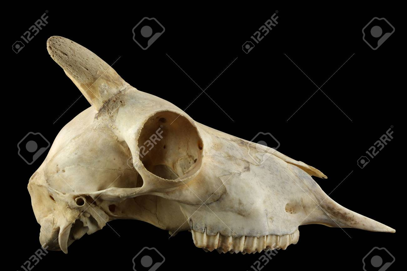 Wild Sheep Skull With Horn Isolated On A Black Background Stock ...