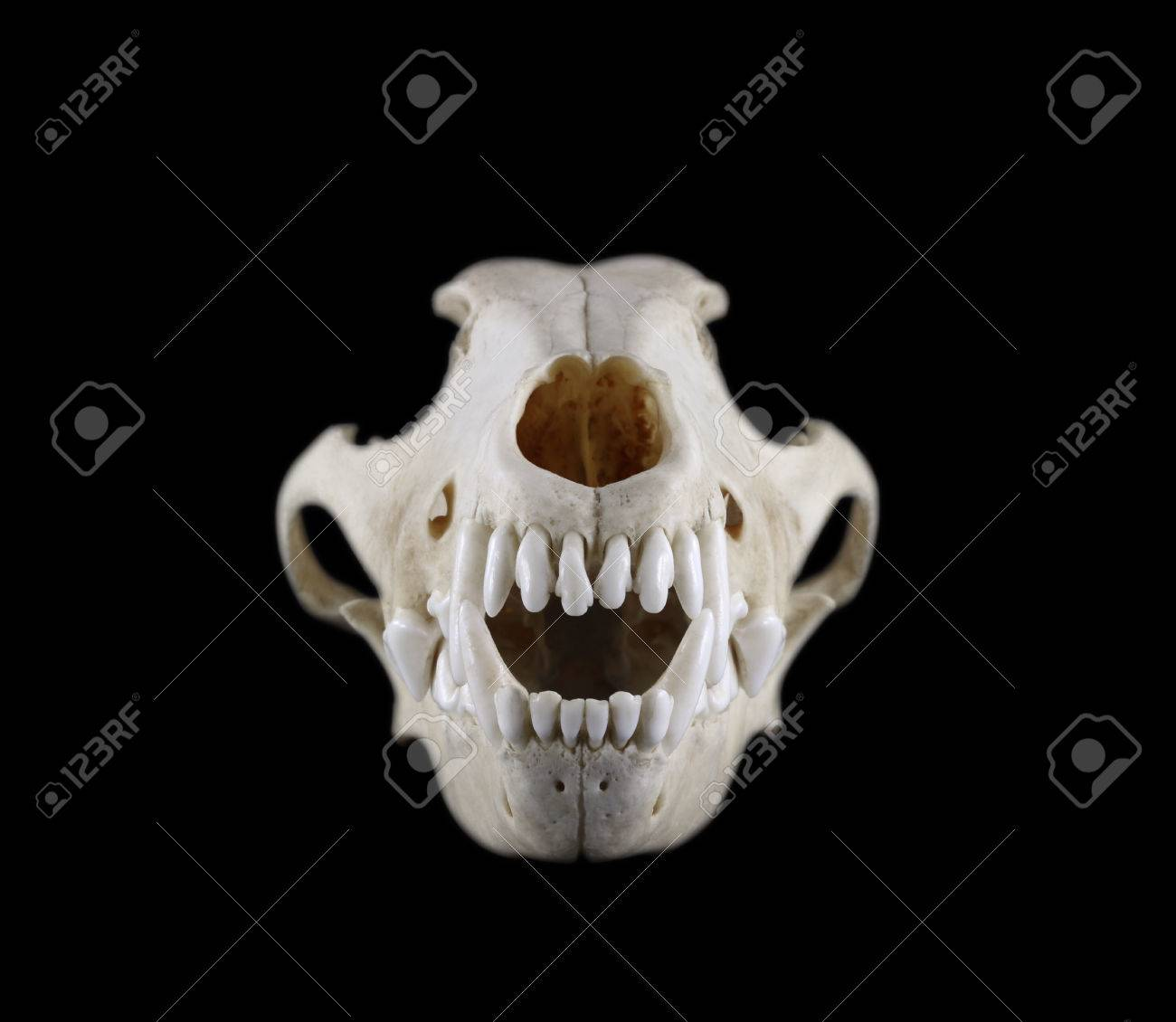 Skull Of Dog Breed The Fox Terrier Front View Isolated On A Black ...