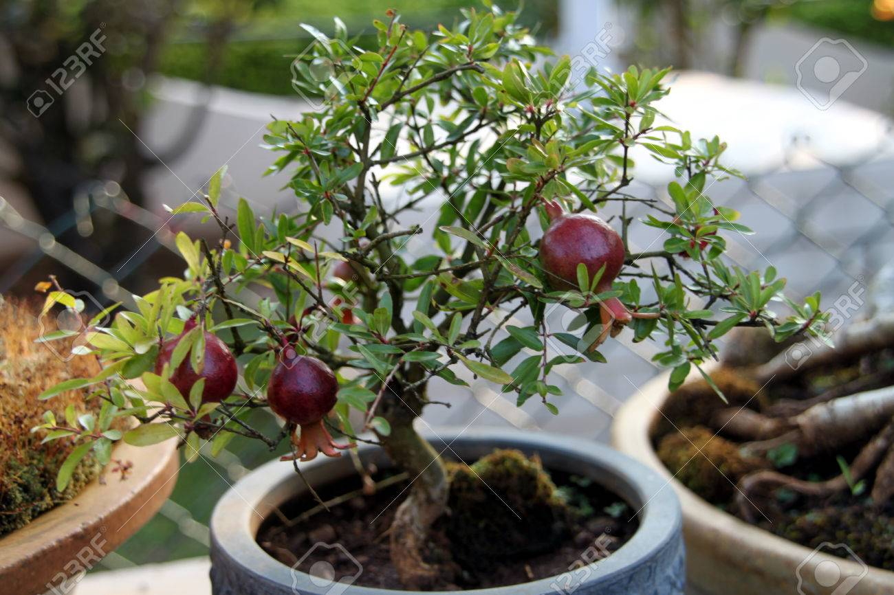 Cute Small Bonsai Of Pomegranate Fruit Tree One Feels Amazed Stock Photo Picture And Royalty Free Image Image 72810397