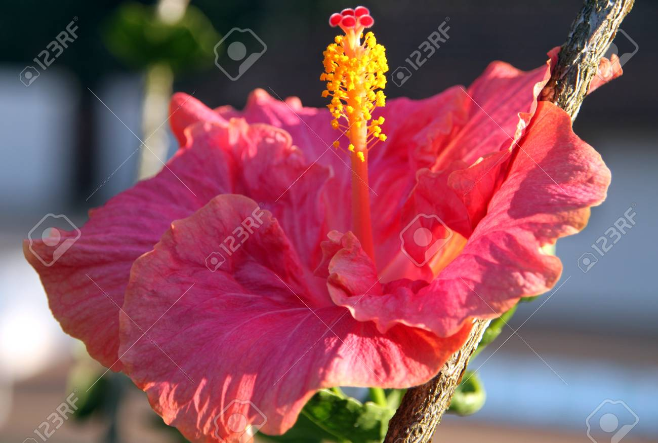 Bright Red Hibiscus Flower With Stamen / Pistil Having Red And ...