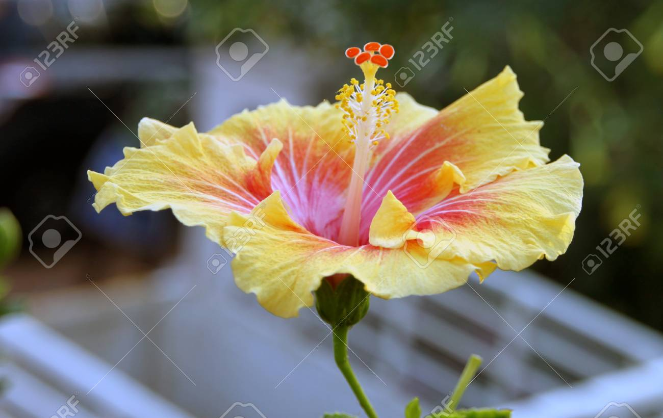Large sized hibiscus flower with a unique yellow colored petals large sized hibiscus flower with a unique yellow colored petals they have a nice mixture mightylinksfo