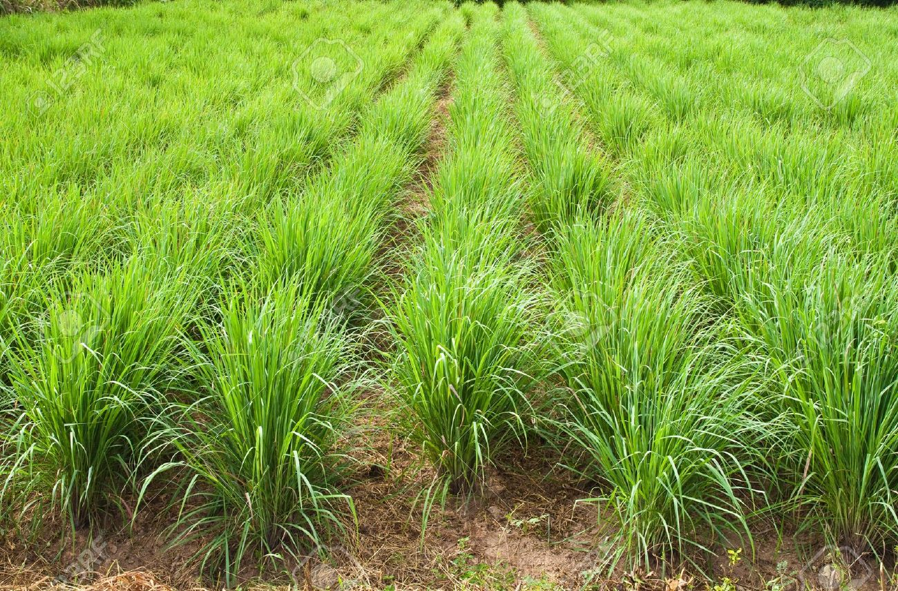 How to grow lemon grass from seed - Garden Design With Lemon Grass Plant North East Of Thailand Stock Photo Picture