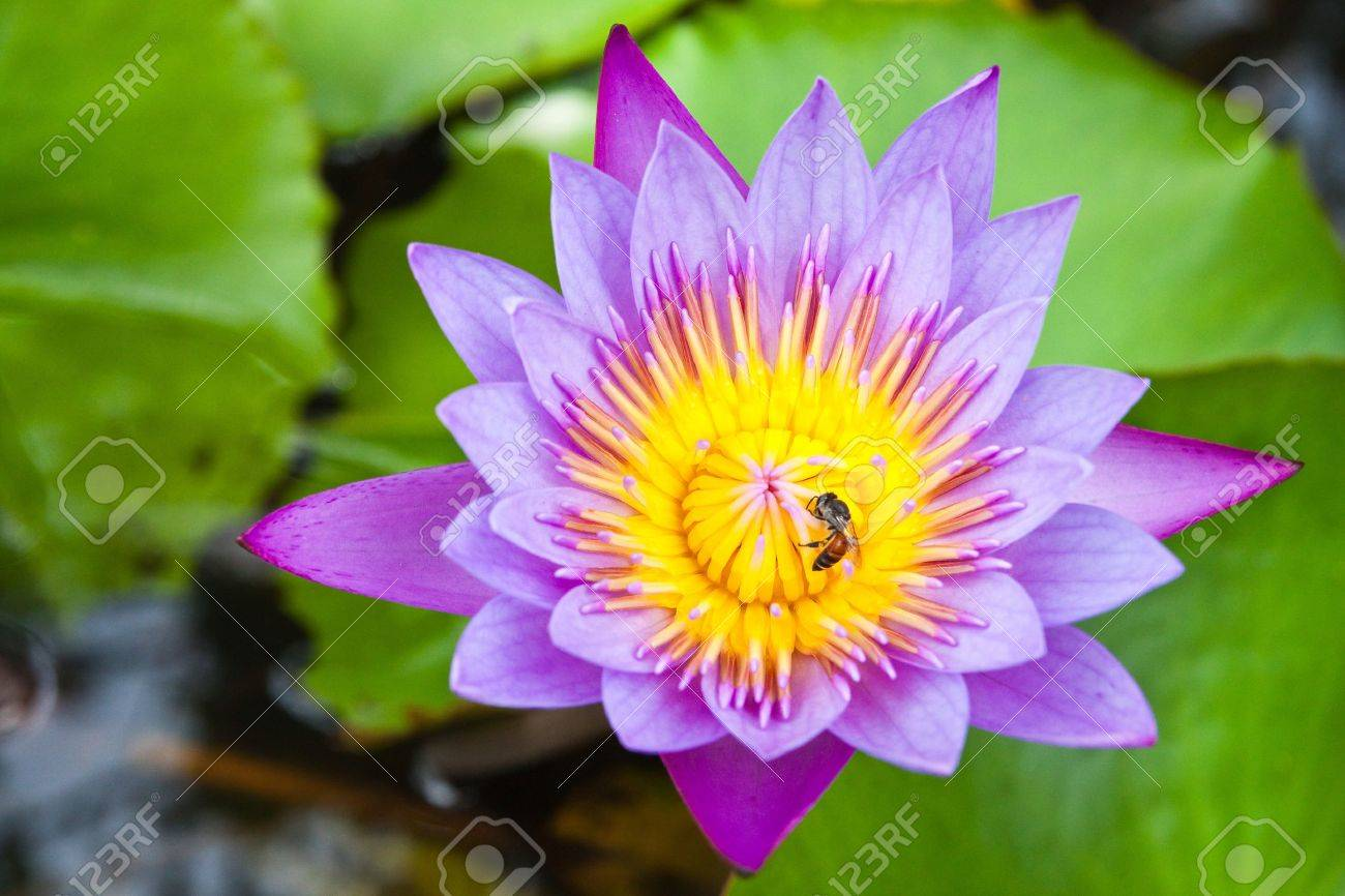 Purple water lilly on water background with leaves. Stock Photo - 10400014