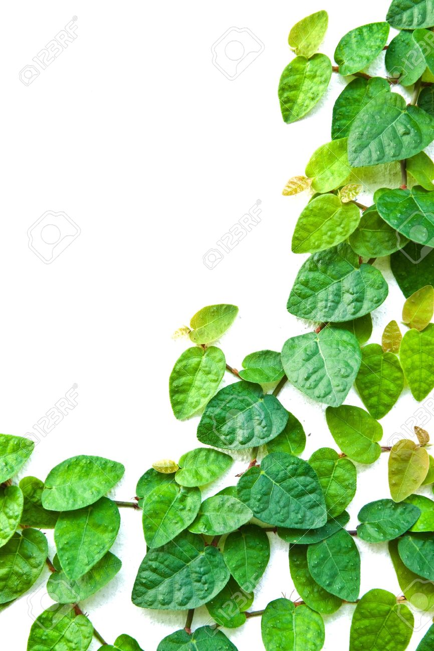 The Green Creeper Plant on the wall for background. Stock Photo - 10983928