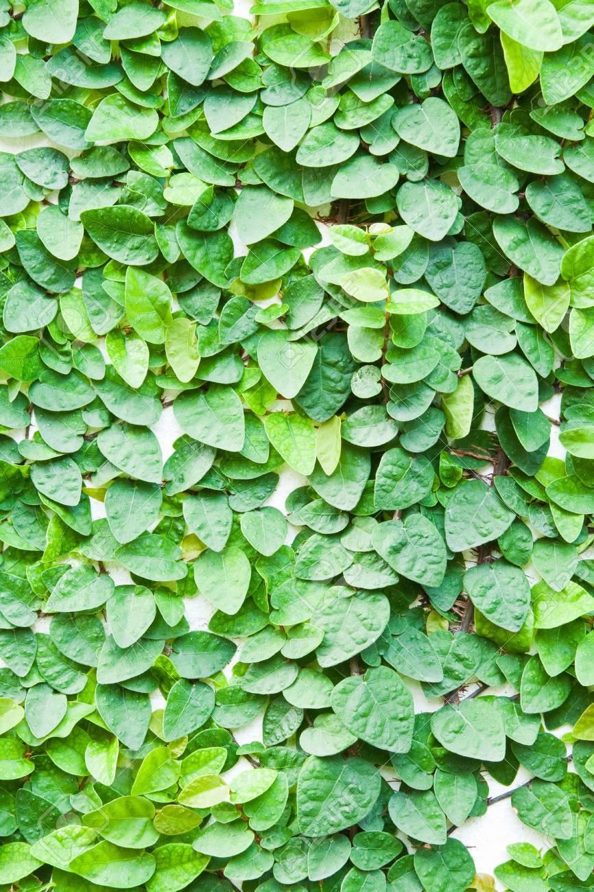 背景の壁に緑のつる植物。 の写真素材・画像素材 Image 11052387.
