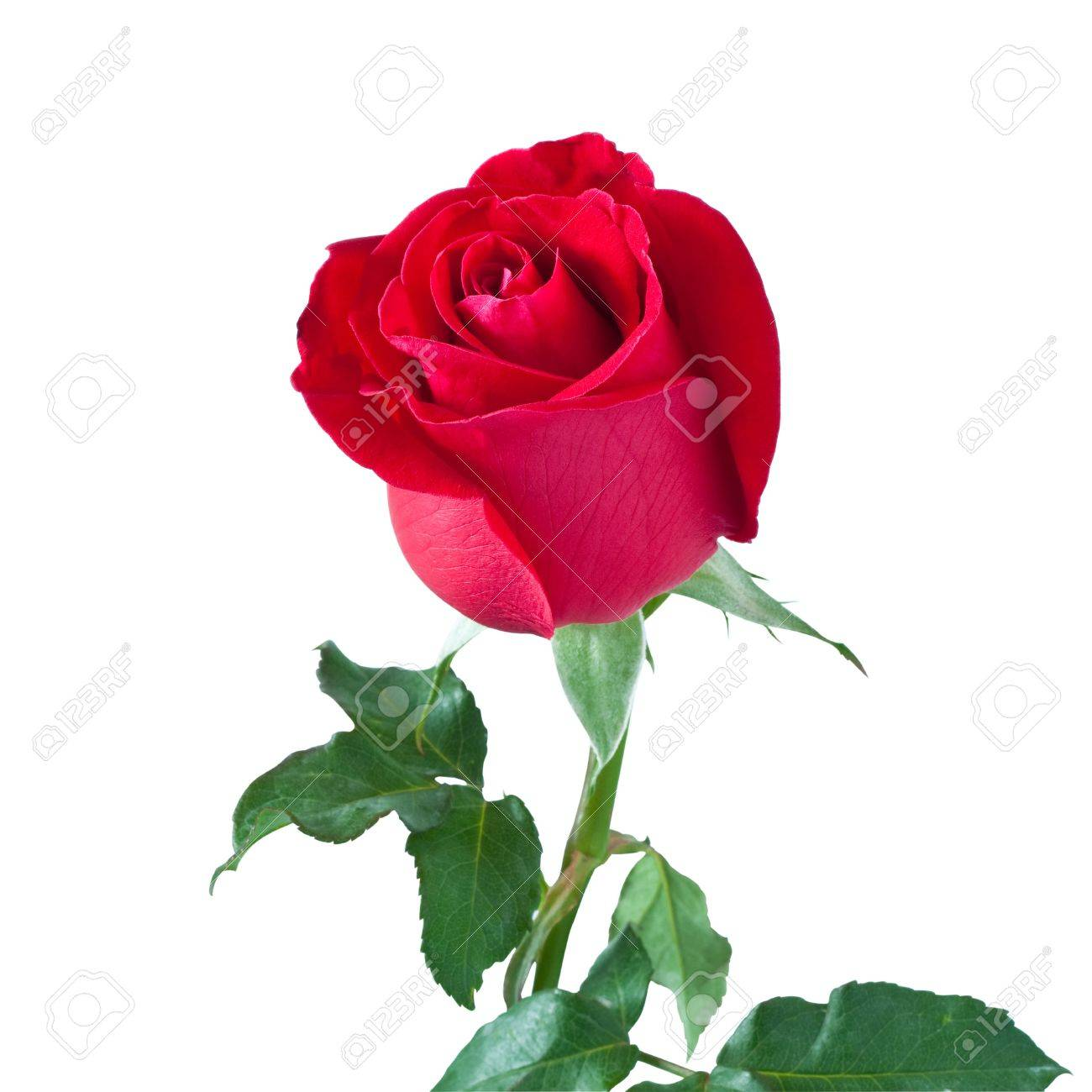 beautiful red rose isolated on white background,with clipping path Stock Photo - 17255059