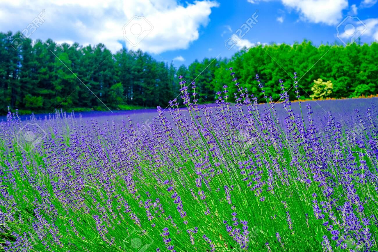 Fields of lavender - 151456477