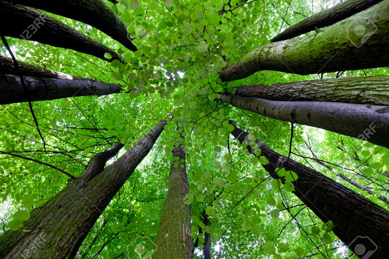 Tree canopy Stock Photo - 7144650 & Tree Canopy Stock Photo Picture And Royalty Free Image. Image ...