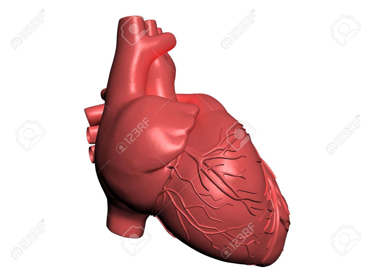 heart muscle anatomy choice image - learn human anatomy image, Muscles