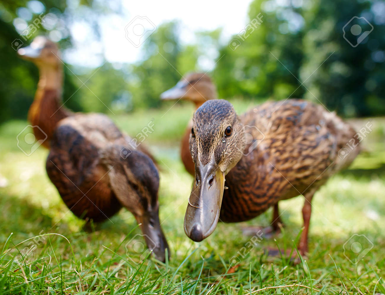 charming ducklings Stock Photo - 17084216
