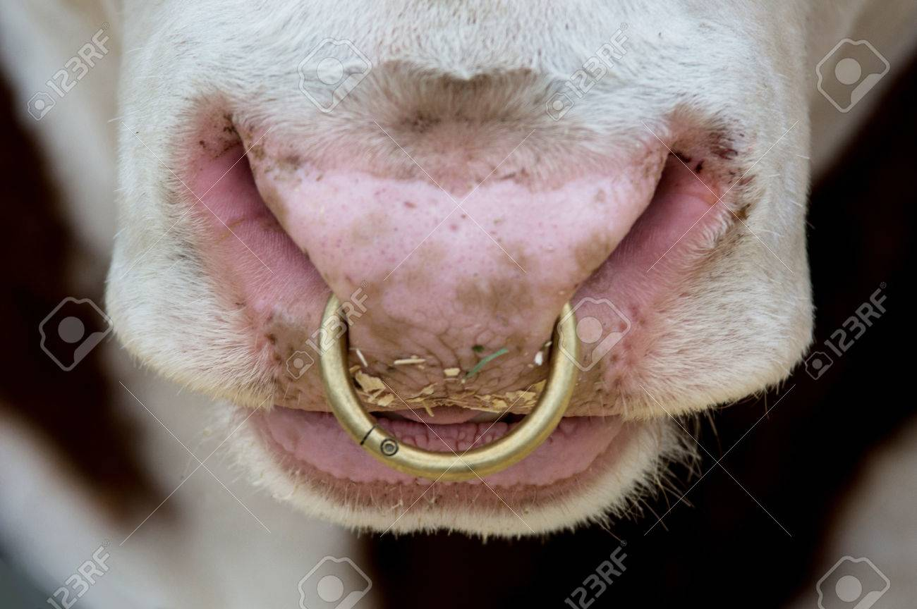 Close Up Of Nose Ring On A Steer With Food Particles Under The