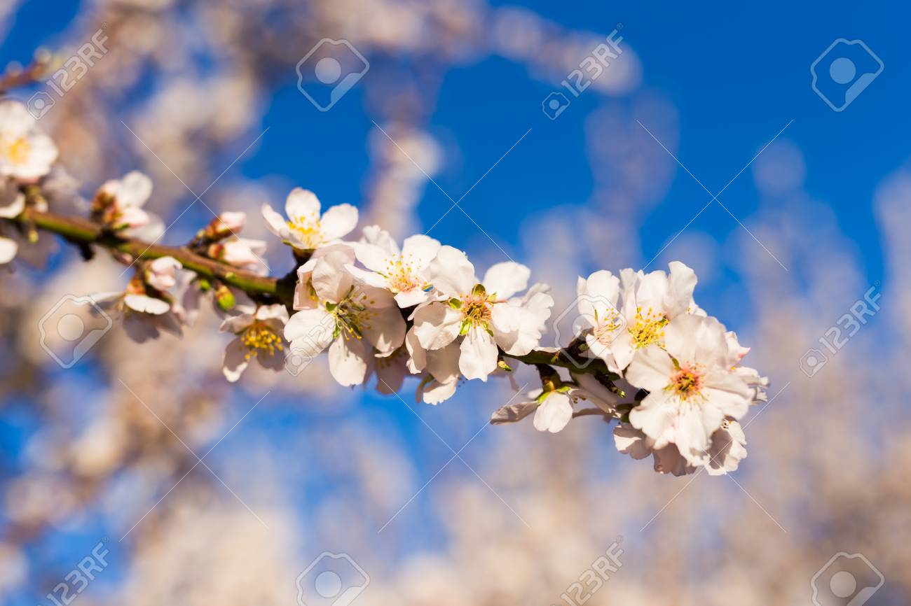 Beautiful Almond Flowers Almond Flower Trees At Spring Stock Photo